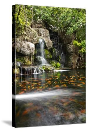 Koi Fish in Pond at the Garden with A Waterfall- luckypic-Stretched Canvas Print