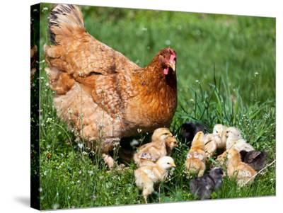 Chicken with Babies-Xilius-Stretched Canvas Print