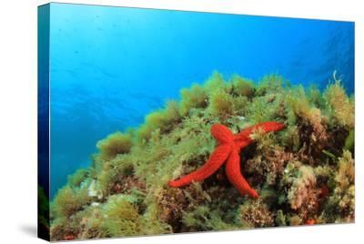 Starfish Underwater on Reef-Rich Carey-Stretched Canvas Print