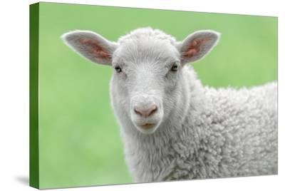 Face of A White Lamb-stefanholm-Stretched Canvas Print