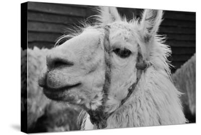 The Llama-meunierd-Stretched Canvas Print