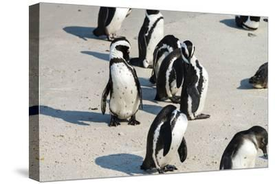 African Penguins at Simonstown (South Africa)-HandmadePictures-Stretched Canvas Print