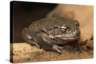 Colorado River Toad (Incilius Alvarius), also known as the Sonoran Desert Toad. Wild Life Animal.-wrangel-Stretched Canvas Print