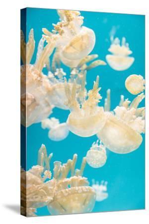 Spotted Lagoon Jelly, Golden Medusa, Mastigias Papua-steffstarr-Stretched Canvas Print