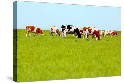 Cows Grazing on Pasture-Liang Zhang-Stretched Canvas Print