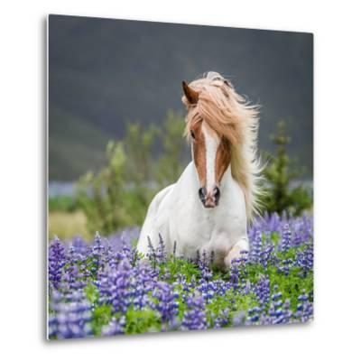 Horse Running by Lupines-Arctic-Images-Metal Print