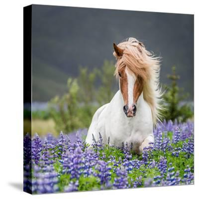 Horse Running by Lupines-Arctic-Images-Stretched Canvas Print