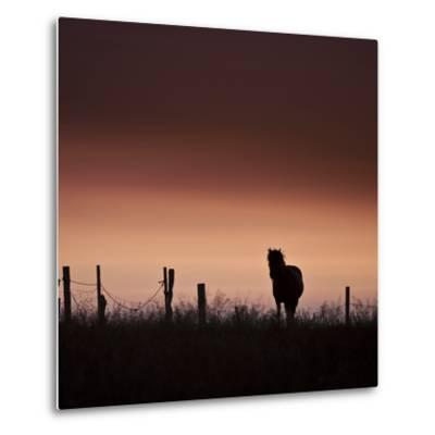 Icelandic Horse in Pasture at Sunset-Arctic-Images-Metal Print