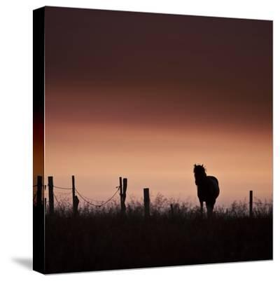 Icelandic Horse in Pasture at Sunset-Arctic-Images-Stretched Canvas Print