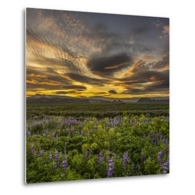 Sunset and Lupines, Myrdalssandur, South Coast, Iceland-Arctic-Images-Metal Print