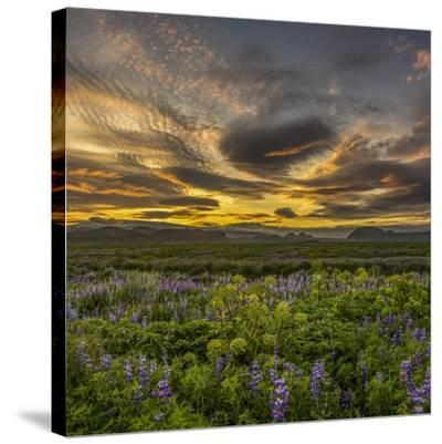 Sunset and Lupines, Myrdalssandur, South Coast, Iceland-Arctic-Images-Stretched Canvas Print