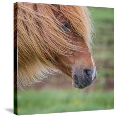Portrait of Mare, Iceland-Arctic-Images-Stretched Canvas Print
