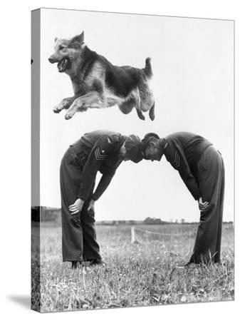 German Shepherd Jumping during Military Training--Stretched Canvas Print