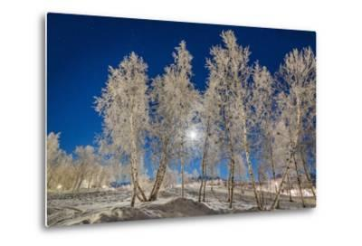 Snow Crystals on Trees in Winter, Lapland, Sweden-Arctic-Images-Metal Print