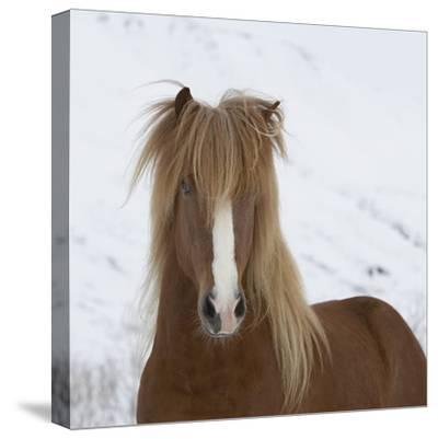 Icelandic Pony-Arctic-Images-Stretched Canvas Print