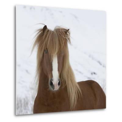 Icelandic Pony-Arctic-Images-Metal Print