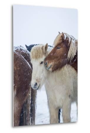 Horses outside during a Snowstorm.-Arctic-Images-Metal Print