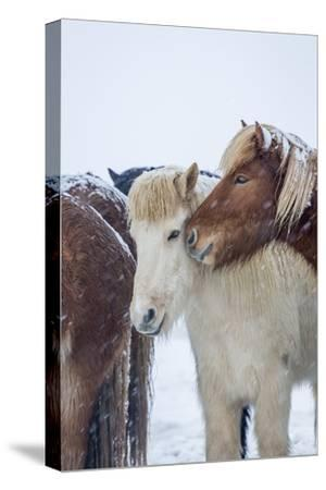 Horses outside during a Snowstorm.-Arctic-Images-Stretched Canvas Print