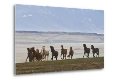 Herd of Icelandic Horses Running, Northern Iceland-Arctic-Images-Metal Print