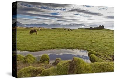 Horses Grazing by Abandon House, Vidbordssel Farm, Hornafjordur, Iceland-Arctic-Images-Stretched Canvas Print