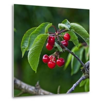 Cherries, Norway-Arctic-Images-Metal Print