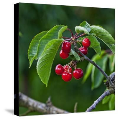 Cherries, Norway-Arctic-Images-Stretched Canvas Print