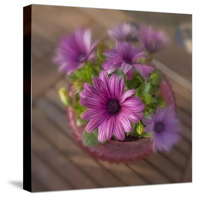 Daisies Planted in Pot-Arctic-Images-Stretched Canvas Print