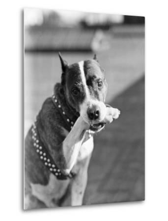 Dog Poses Holding One Paw in His Mouth--Metal Print