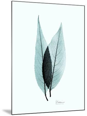 Teal Caplulin Cherry-Albert Koetsier-Mounted Premium Giclee Print