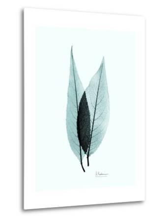 Teal Caplulin Cherry-Albert Koetsier-Metal Print