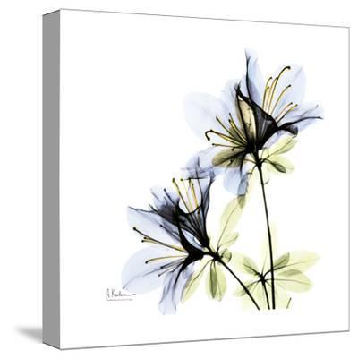 Blue Twin Azalea in Bloom-Albert Koetsier-Stretched Canvas Print