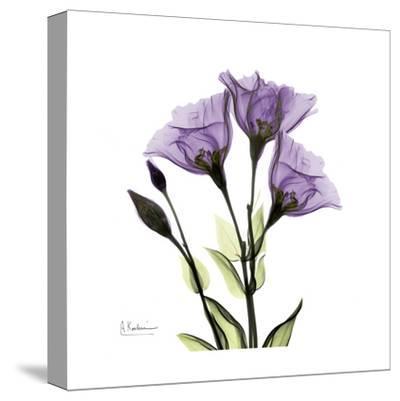 Gentian in Purple-Albert Koetsier-Stretched Canvas Print
