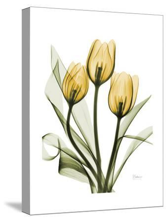 Golden Tulips-Albert Koetsier-Stretched Canvas Print