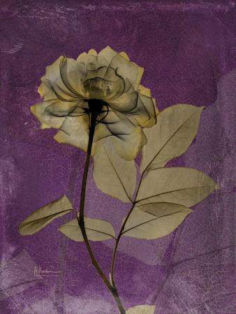 Purple Opus Rose-Albert Koetsier-Stretched Canvas Print