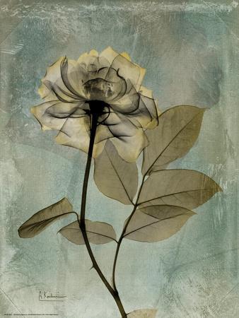 Sage Opus Rose-Albert Koetsier-Stretched Canvas Print