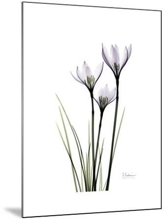 Whit Rain Lily Portrait-Albert Koetsier-Mounted Premium Giclee Print