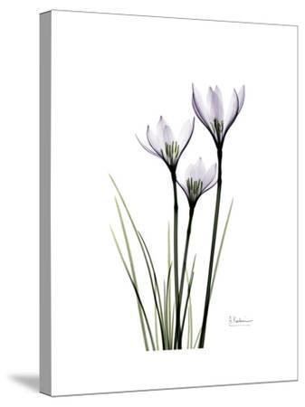 Whit Rain Lily Portrait-Albert Koetsier-Stretched Canvas Print