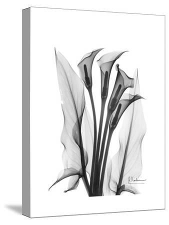 Calla Lily Gray-Albert Koetsier-Stretched Canvas Print