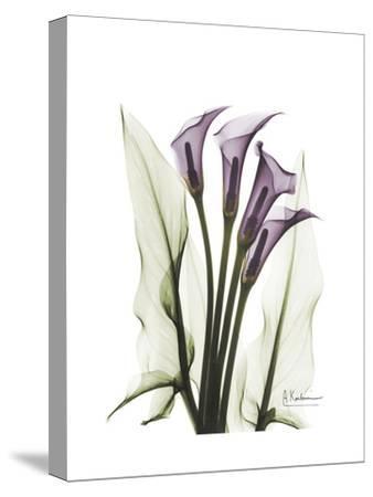Purple Calla Lily Portrait-Albert Koetsier-Stretched Canvas Print