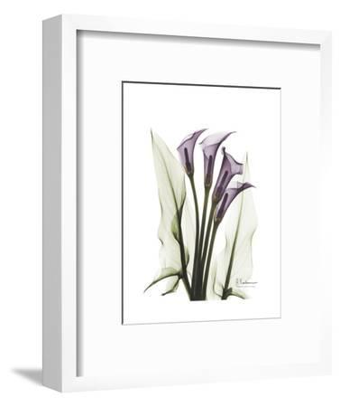 Purple Calla Lily Portrait-Albert Koetsier-Framed Premium Giclee Print