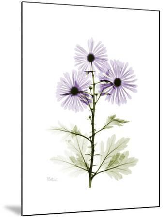Chrysanthemum Trio-Albert Koetsier-Mounted Premium Giclee Print