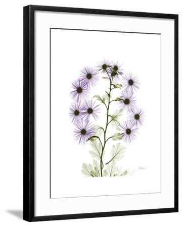 Chrysanthemum Family-Albert Koetsier-Framed Premium Giclee Print