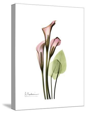 Pink Calla Lily Portrait-Albert Koetsier-Stretched Canvas Print