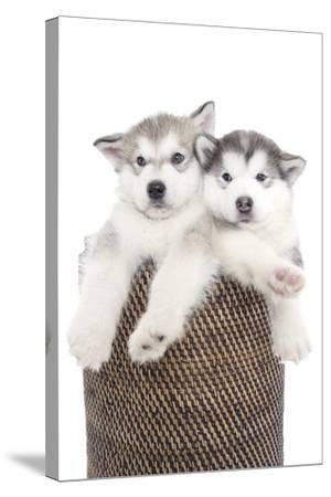 Puppies 018-Andrea Mascitti-Stretched Canvas Print