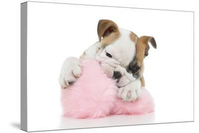 Puppies 057-Andrea Mascitti-Stretched Canvas Print