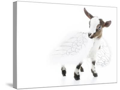 Goats 003-Andrea Mascitti-Stretched Canvas Print