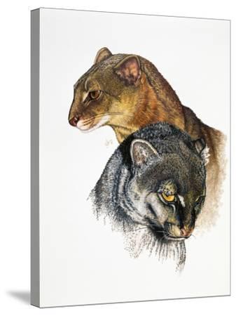 Jaguarundi-Barbara Keith-Stretched Canvas Print