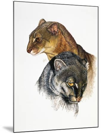 Jaguarundi-Barbara Keith-Mounted Giclee Print