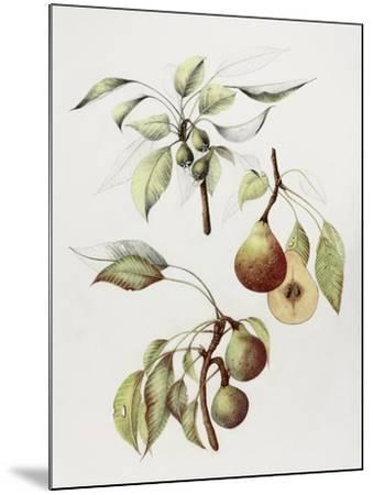 Pine Street Pears-Deborah Kopka-Mounted Giclee Print