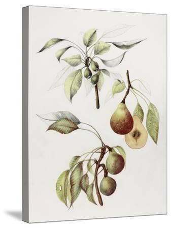Pine Street Pears-Deborah Kopka-Stretched Canvas Print